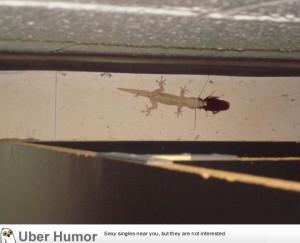 heard a very strange sound behind my bookcase. It was a gecko ...