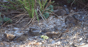 file name comp covey quail+ 081014 jpg ow 300 docid 608045392580969357 ...