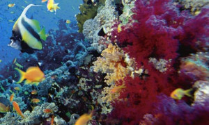 One in four coral species are under threat of extinction. Photograph ...
