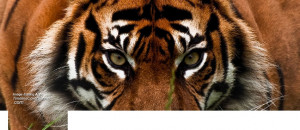 Quotes About Tigers Animals