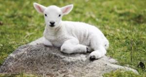 Baby-Sheep-Sitting-wallpaper