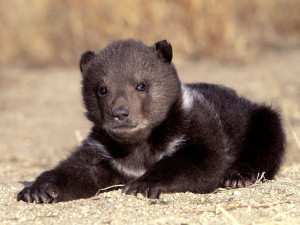 Download Grizzly Bears wallpaper, 'Grizzly Bear Cub 1'.
