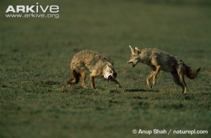 Melanistic Jackal Golden jackals fighting