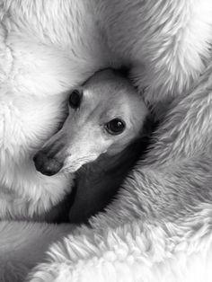 ... eyes all black dogs sighthounds greyhounds italian greyhound animal