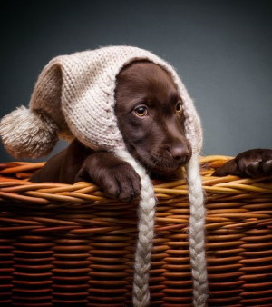 Chocolate Labs and Dog Quotes/Memes