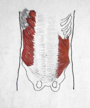 Abdominal External Oblique