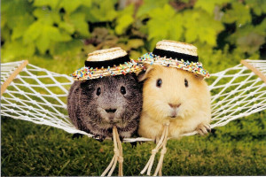 Funny Guinea Pig picture for widescreen