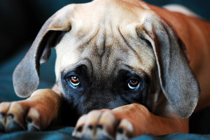 dog eyes sad puppy dog eyes sad puppy dog eyes puppy dog eyes by ...