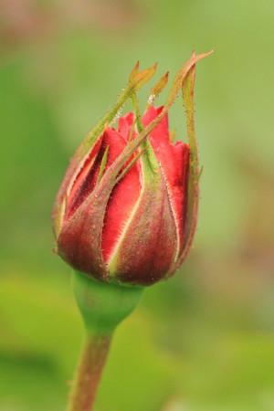 plants flowers bud roses kootation