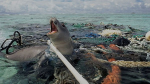 Seal trapped in plastic pollution. Photo: © Tedxgp2