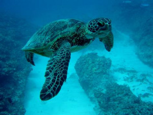 Sea turtles make surprising migration when young