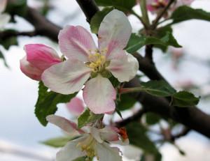 Apple Blossom Near Alford