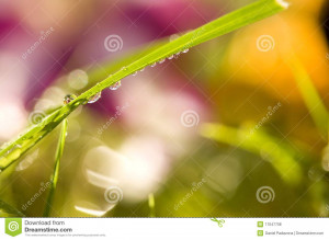 Morning Dew on a blade of grass with a brilliant background of meadow ...