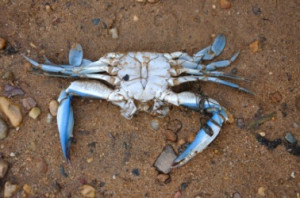 blue-crab on the sand.