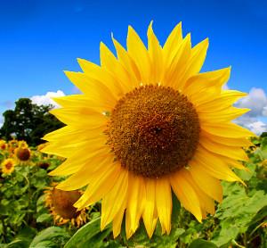 해바라기 (Sunflower)