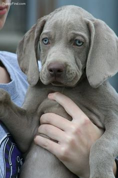 beautiful weimaraner puppy! More