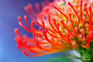Protea Pincushion Flower by Robyn Nola