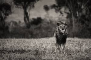 use a lion as an example of being fearless, and just like the lion ...