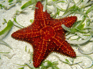 Wonderful red sea starfish