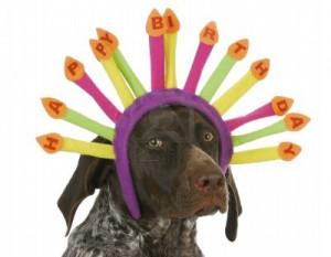 -happy-birthday-dog-german-short-haired-pointer-wearing-birthday ...