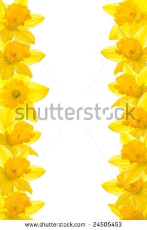 Daffodil border, isolated white background - stock photo