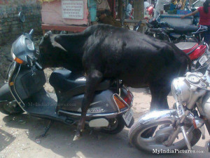 Funny Honda Quotes Honda activa and bull ride