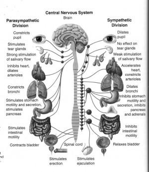 Sympathetic vs. Parasympathetic organ effects