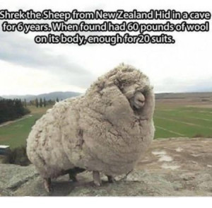 Funny sheep saying pictures