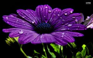 Purple daisy wallpaper 1680x1050