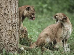 Male vs Female Mountain Lion