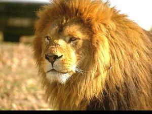 狮子桌面壁纸