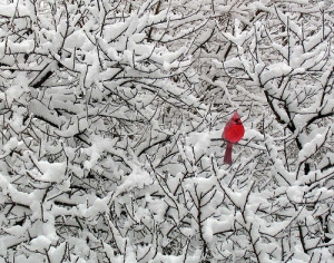 bird, cardinal, forest, red, snow, trees, white