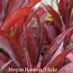 Red Leaf Plants