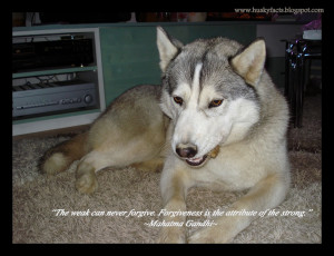 Funny husky pictures