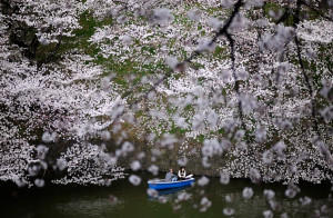 Japan's iconic cherry blossoms reach full bloom