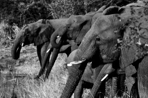 Herd Elephants Drinks The...