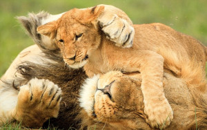 Get your paw out of my eye! One of the cubs clambers over his tolerant ...