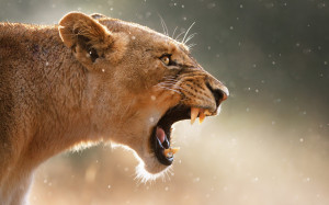 Angry female lion Wallpapers Pictures Photos Images
