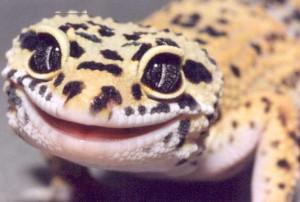 Mechanism of Tooth Replacement in Leopard Geckos