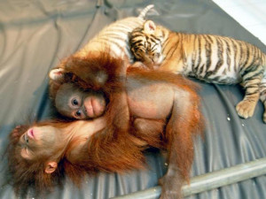 March 9, 2007: Young orangutans and tigers hang out together
