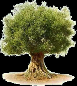 Athena Symbol Olive Tree