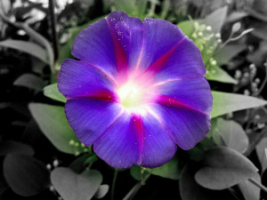 In the Victorian meaning of flowers, morning glory signifies love ...