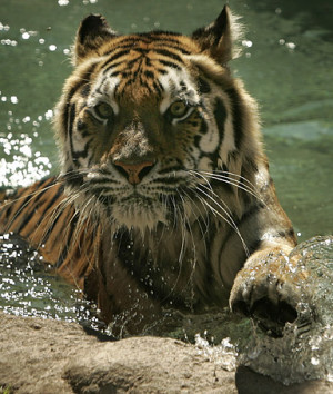 Bengal Tiger takes a swim at Busch Garden Tampa Bay's Jungala ...