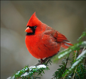 Cardinal_(bird) - Startled by a bird flying