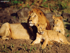 tags lion 38 pics african lion 12 pics