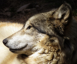 breed them gray wolf love the gray wolf inhabits a gray wolf love
