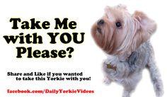 ... yorkie yorkie lovers 2 yorkie lover2 precious pooch yorkshire terriers
