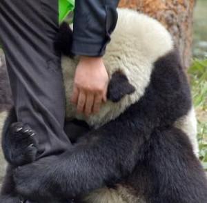 ... vista i love you my panda art print i love you my panda art print art