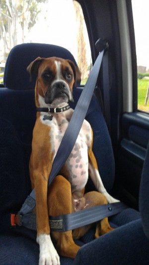 Boxer Dog-FUNNY,SHARP,ALERT,PLAYFUL,LOVABLE,WATCH DOG,THEIR LOOKS MAKE ...