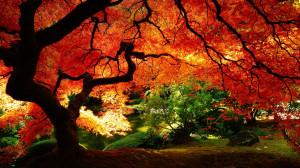 ... erable japonais rouge wallpaper hd japanese garden trees autumn